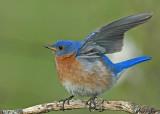 20080502 150 Eastern Bluebird.jpg