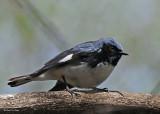 20080509 184 Black-throated Blue Warbler SERIES.jpg