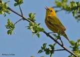 20080512 022 Yellow Warbler.jpg