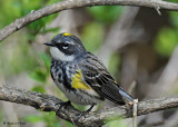 20080507 105 Yellow-rumped Warbler (male).jpg