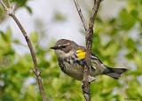 20080509 100 Yellow-rumped Warbler.jpg