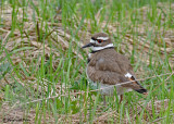 20080429 066 Killdeer SERIES.jpg