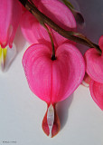 20080503 024 Bleeding Heart SERIES.jpg