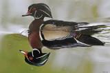 20080520 189 Wood Duck SERIES.jpg