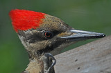 20080527 804 Pileated Woodpecker .jpg