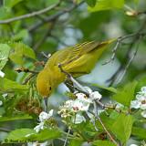 20080522 017 Yellow Warbler.jpg