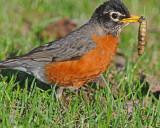 20080424 161American Robin SERIES.jpg