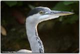 Grey Heron 2  (Ardea cinerea)