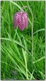 Fritillaria tubiformis