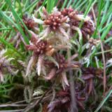Sphaigne Sphagnum magellanicum