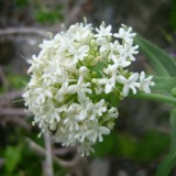 Centranthe rouge  (fleurs blanches)