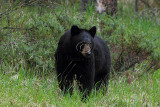 Banff Black Bear - June 2010