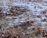 Possible Pink-sided Junco