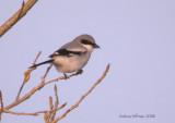 Flycatchers and Shrikes