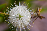 Buttonbush with Unknown Butterfly III