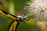 Buttonbush with Eastern Tiger Swallowtail