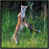 Fox Play (Red Fox Vulpes Vulpes)