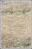 Lost sunflowers in Quillota wheat fields