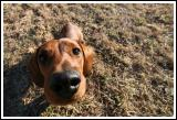 Big Headed Little Dog