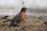Robins & Thrushes
