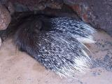 Pair of Porcupines