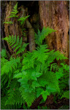 Ferns in Olympic National Park