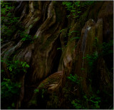 Gnarled Roots of the Quinault Big Cedar