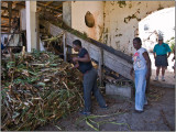 Rum is Made from the Juice of Sugarcane