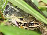 Garter snake eats pickerel frog