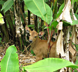 Calf in the Heliconia Garden
