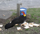 (Not So) Bush Turkey