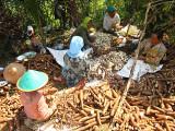 Peeling Cassava Roots to Dry