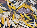 Weeping Katsura Leaf