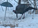 Not So Wild Turkey