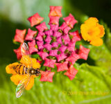Tiny Hover Fly on Lantana