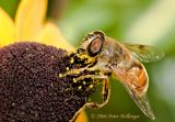Syrphid Fly on Rudbeckia