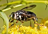 PieBald EyeBalled Fly - Spilomyia fusca