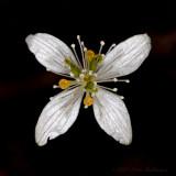 Goldthread (Coptis groenlandicum)