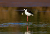 Stilts & Avocets