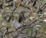 Northern Pygmy-Owl (flegling)