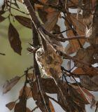 Black-chinned Hummingbird on nest