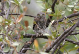 Northern Pygmy-Owl fledgling