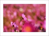 ºÖ¹Ø¤sªi´µµâ Autumn Beauty - Field of Cosmos