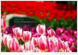 Tulip's Gossip