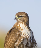Red-tailed Hawk looks
