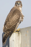 Red-tailed Hawk looks at photographer