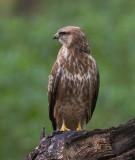 Common or Steppe Buzzard