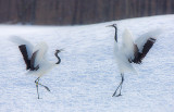 Japanese Red-crowned Cranes Dancing