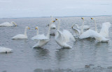 1.Swan fight between 2 groups