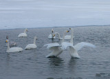 4,Swan fight between 2 groups